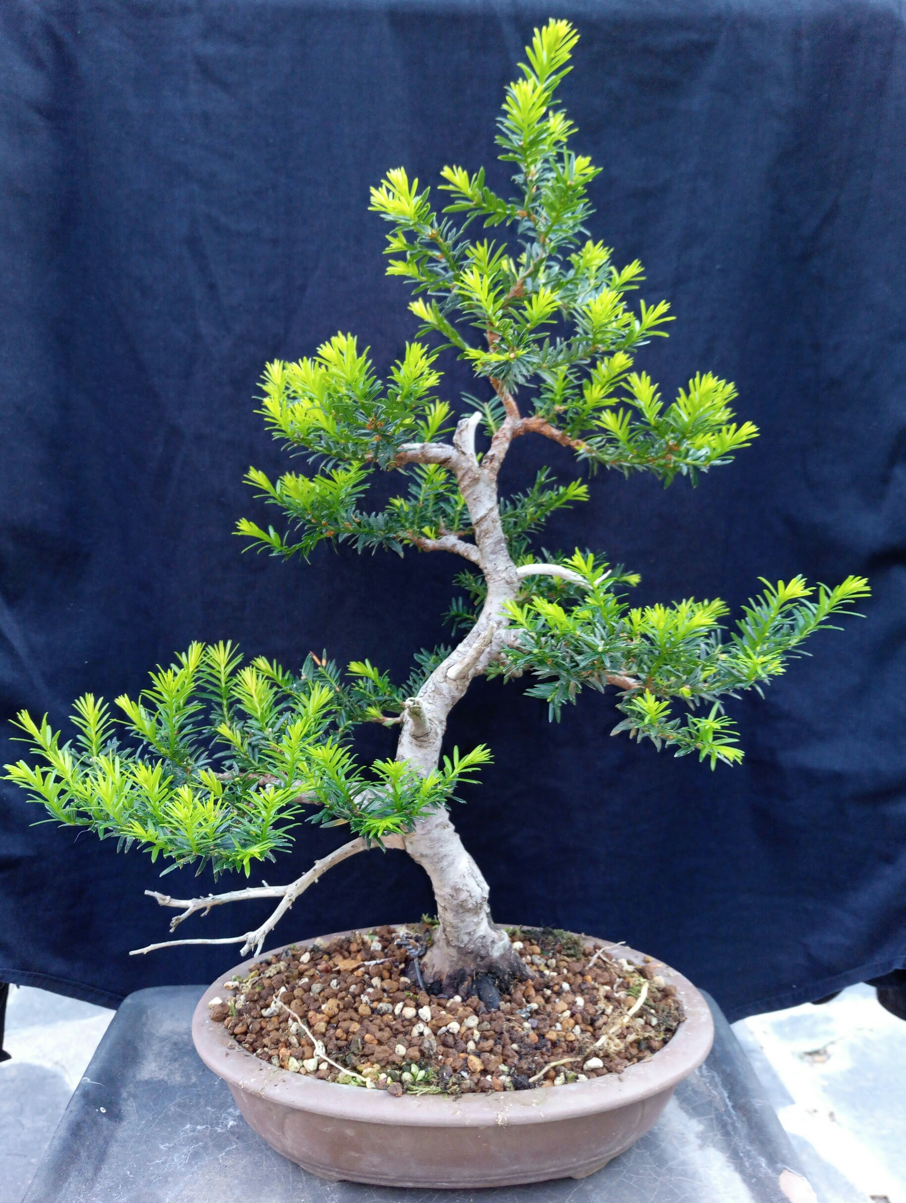 Taxus Baccata Bonsai The Best 2017 Wiring Yew Parla Club De Amigos Del